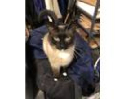 Adopt Scraggles a Tan or Fawn (Mostly) Siamese / Mixed (short coat) cat in