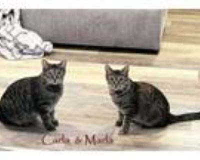 Adopt Carla *kitten* a Gray, Blue or Silver Tabby Domestic Shorthair / Mixed cat