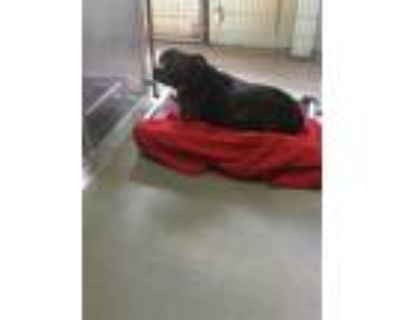 Adopt TATER a Brindle - with White American Pit Bull Terrier / Mixed dog in