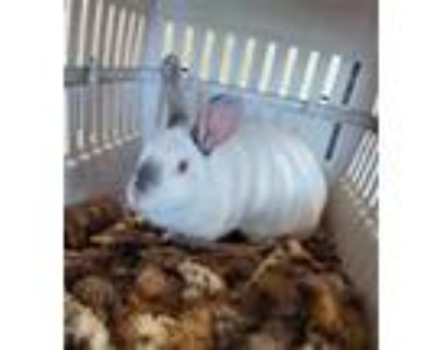 Adopt TILLY a White Other/Unknown / Mixed rabbit in Loveland, CO (32055217)