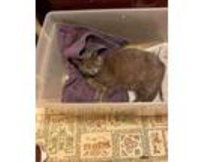 Adopt Graby a Russian Blue cat in Calimesa, CA (31567784)