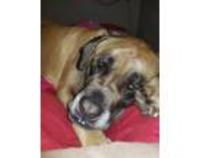 Adopt Rook - Fee Waived a Mastiff