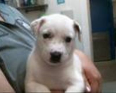 Adopt COUNTESS a White - with Black Australian Cattle Dog / Mixed dog in