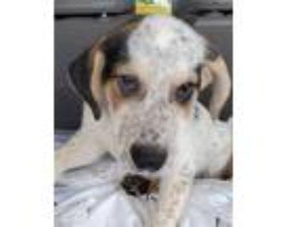 Adopt Luke Skywalker a White Hound (Unknown Type) / Mixed dog in St Louis