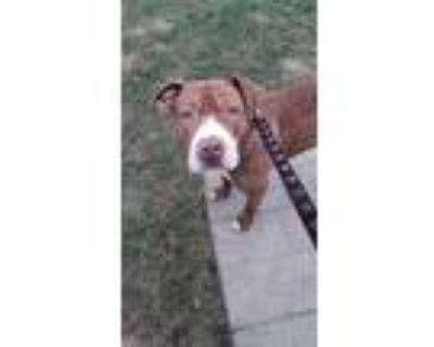 Adopt Mac a Tan/Yellow/Fawn Pit Bull Terrier / Bullmastiff / Mixed dog in