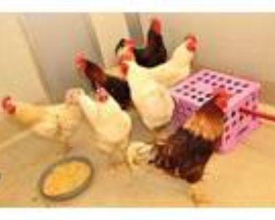 Adopt 47974662 a Red Other/Unknown / Other/Unknown / Mixed bird in Bristol