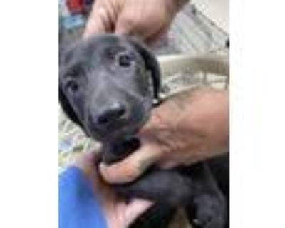 Adopt 48047398 a Black Labrador Retriever / Mixed dog in Fort Worth