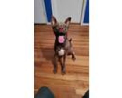 Adopt Porsche a Brown/Chocolate - with White American Pit Bull Terrier / Boxer /