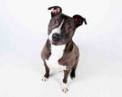 Adopt OMAR a Black - with White American Pit Bull Terrier / Labrador Retriever /