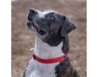 Adopt Pharaoh a Pit Bull Terrier, American Staffordshire Terrier