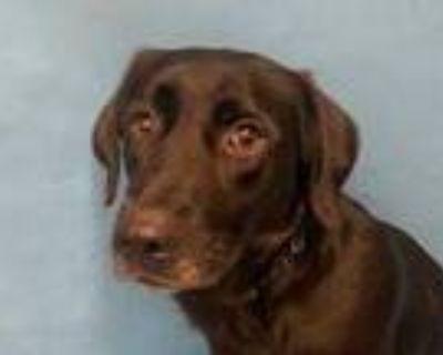 Adopt Precious a Black Labrador Retriever / Mixed dog in Golden Valley