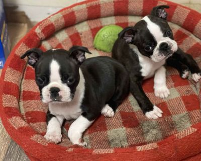 Boston Terrier Puppies - 2 Males and 1 Female