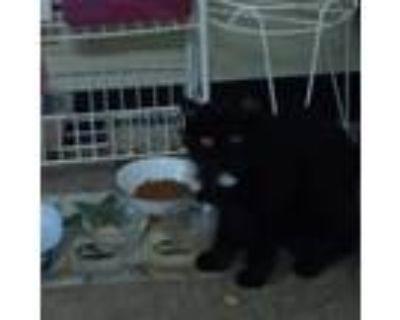 Adopt Cleo a Black (Mostly) Domestic Longhair / Mixed (medium coat) cat in
