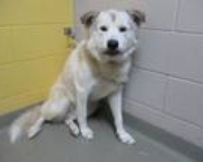 Adopt CHICO a Great Pyrenees, Mixed Breed
