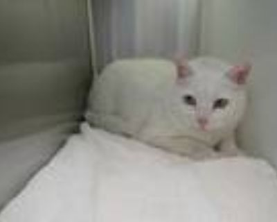 Adopt *MOLLIE a White Domestic Shorthair / Mixed (short coat) cat in Brighton