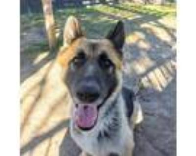 Adopt BRAMBLE a German Shepherd Dog
