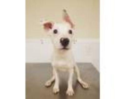 Adopt Sebastian a Terrier, Cattle Dog