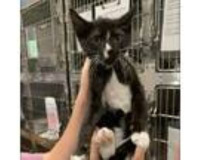 Adopt Maggie a All Black Domestic Shorthair / Mixed cat in Cumming