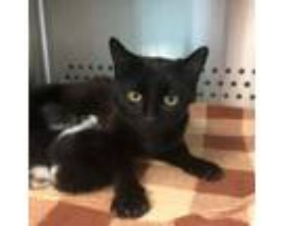 Adopt Ramona a All Black Domestic Shorthair / Domestic Shorthair / Mixed cat in