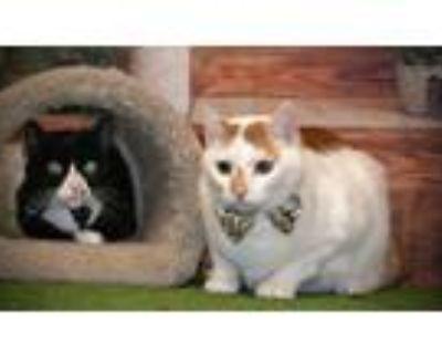 Adopt Sabretooth a Domestic Short Hair