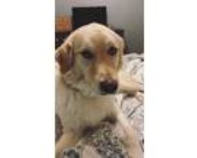 Adopt Maggie a White Golden Retriever / Husky / Mixed dog in North Richland