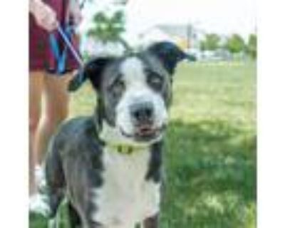 Adopt Buddy a Black Border Collie / American Staffordshire Terrier / Mixed dog