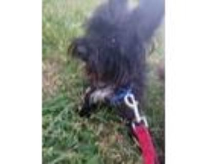 Adopt PRINCE a Poodle, Yorkshire Terrier