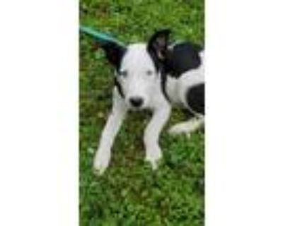 Adopt Balto a Black - with Tan, Yellow or Fawn Husky / Terrier (Unknown Type