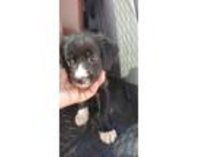 Adopt Mudslide a Beagle, Retriever