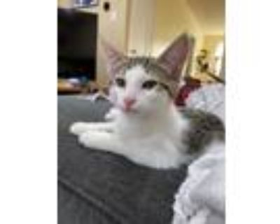 Adopt Annette a Gray or Blue (Mostly) Domestic Shorthair / Mixed cat in