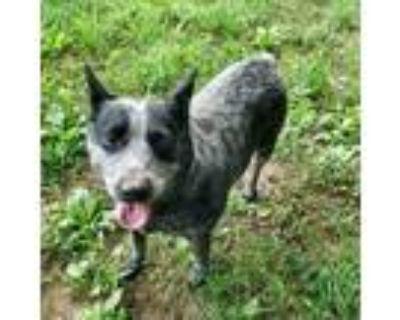 Adopt Suzie a Gray/Blue/Silver/Salt & Pepper Blue Heeler / Mixed dog in Boulder