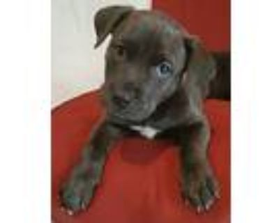 Brownie Bites, Pit Bull Terrier For Adoption In Catoosa, Oklahoma