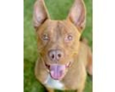 Adopt Norris a Red/Golden/Orange/Chestnut American Pit Bull Terrier / Mixed dog