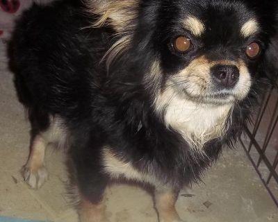 Apple Head Long Coat Chihuahuas AKC
