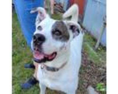 Adopt Pattie a White - with Tan, Yellow or Fawn Catahoula Leopard Dog /