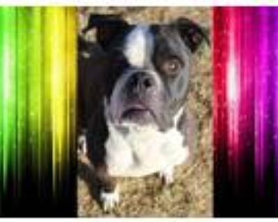 Adopt LOUIE a Black - with White American Pit Bull Terrier / Mixed dog in