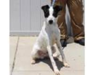 Adopt Pepper a Whippet, Mixed Breed