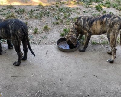 Mastiff female pup is available