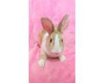 Adopt Glimmer a Orange Dutch / Mixed (short coat) rabbit in lake elsinore