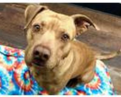 Adopt DANDELION a Brown/Chocolate American Pit Bull Terrier / Mixed dog in