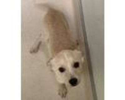 Adopt Tiptoe a Tan/Yellow/Fawn Terrier (Unknown Type, Small) / Mixed dog in