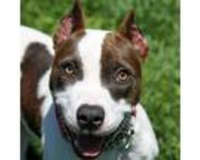 Clementine, Pit Bull Terrier For Adoption In Columbia, Missouri