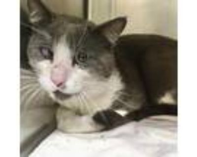 Adopt Willie a Domestic Shorthair / Mixed (short coat) cat in Heber