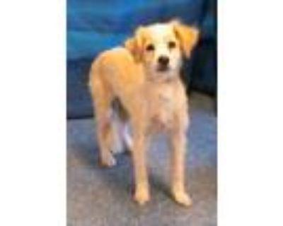 Adopt 159554 a Tan/Yellow/Fawn Golden Retriever / Bichon Frise / Mixed dog in