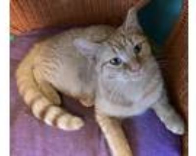Adopt Fritzy a Orange or Red (Mostly) American Shorthair / Mixed (short coat)