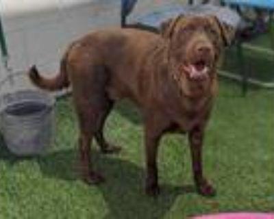 Adopt OSO a Brown/Chocolate Labrador Retriever / Mixed dog in Phoenix