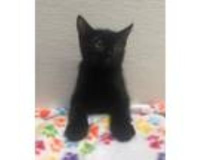Adopt Pee Wee a Domestic Short Hair