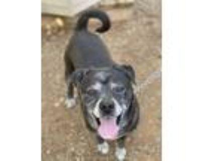 Adopt Sampson a Black - with White Labrador Retriever / Pug / Mixed dog in