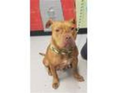 Adopt MADONNA a Red/Golden/Orange/Chestnut American Pit Bull Terrier / Mixed dog