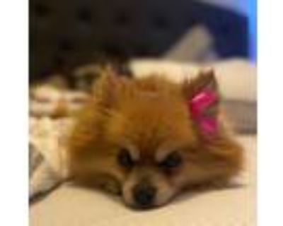 Adopt Cassie a Tan/Yellow/Fawn Pomeranian dog in Greenbelt, MD (32082660)